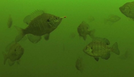 CHIRP signals identify individual fish, no matter where they are in a school.