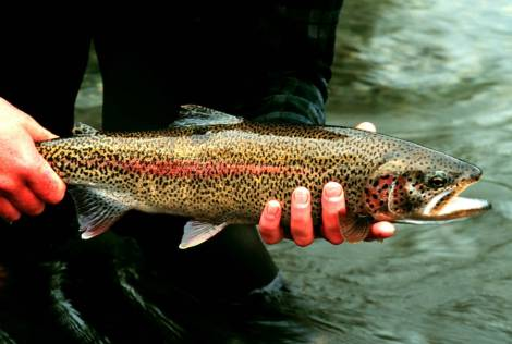 Rainbow_Trout_in_hand_at_Gechiak_Creek.jpg